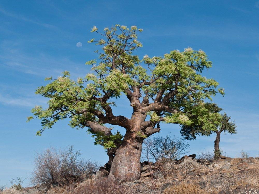 Moringabaum