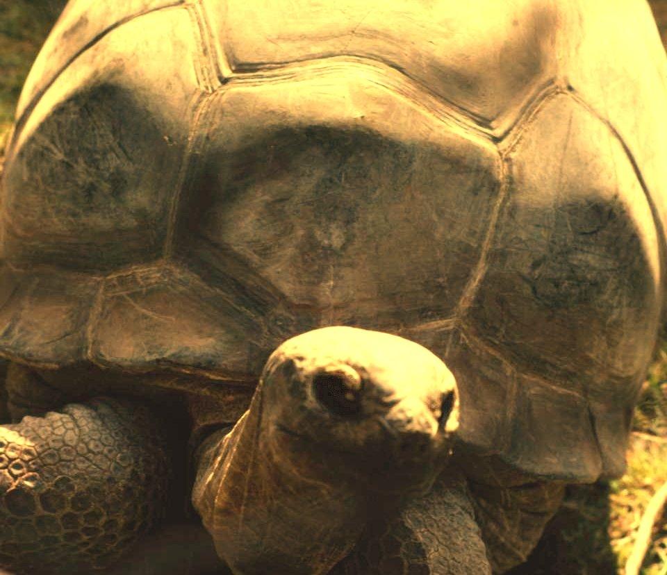 Riesenschildkröte1